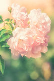 Flowers of pink rose growing in nature on soft pastel color Stock Image