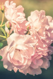 Flowers of pink rose growing in nature on soft pastel color Stock Photography