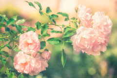 Flowers of pink rose growing in nature in soft style Royalty Free Stock Photo