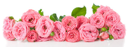 Flowers pink roses with buds. On a white background, isolated Stock Photo