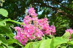 Flowers - Pink flowers of Tabak. Flowers - Pink flowers of Tabarka, flowering seasonally, perennials planted in the garden Stock Photo