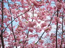 Flowers, Pink, Tree, Flower Tree Royalty Free Stock Photos
