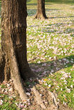 Flowers of pink trumpet tree falling on ground Stock Image