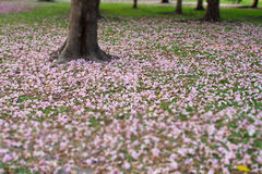 Flowers of pink trumpet tree falling on ground Stock Images