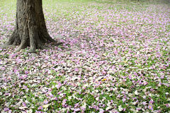Flowers of pink trumpet tree falling on ground Royalty Free Stock Photography