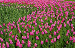 Flowers pink tulip. Bud  of a spring flowers.  Field of beautiful tulips.  Side view.   For design. Stock Photos