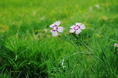 The flowers of the pink. Two white flowers of the pink are in full bloom in the green lawn Stock Image