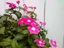 Flowers. Pink on white wall Royalty Free Stock Photography