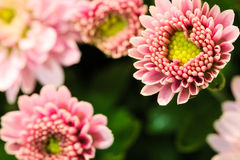 Flowers. Pink Flowers with a xellow heart Royalty Free Stock Photography