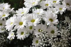 Flowers, Plant, Bloom, Daisies Stock Photo