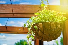 Flowers and plant in flowerpot, Growing plant in wooden flowerpot. Sun beam lights. Flowers and plant in flowerpot, Growing plant in wooden flowerpot. Sun beam stock image