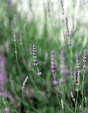 Flowers and plant of lavender in spring. Purple flowers and plant of lavender in spring stock photos