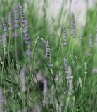 Flowers and plant of lavender in spring. Purple flowers and plant of lavender in spring royalty free stock photography
