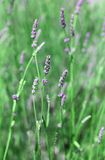 Flowers and plant of lavender in spring. Purple flowers and green plant of lavender in spring royalty free stock photo