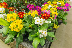 Flowers in a plant pot. Flowers in springtime in a garden Royalty Free Stock Photos