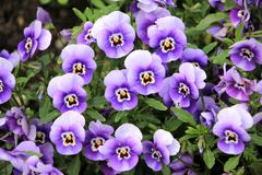 Flowers, Plant, Purple, Pansy Royalty Free Stock Image