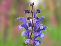 Flowers of the plant Salvia closeup stock photo