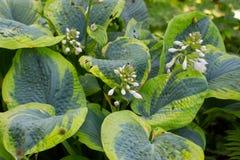Flowers of a plantain lily, also called giboshi, Hosta sieboldiana or Blaublatt Funkie