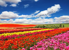 Flowers planted with bands of bright colors Royalty Free Stock Image
