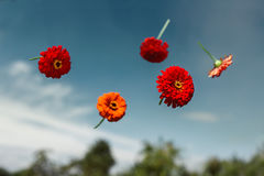 Flowers planted float in weightlessness. Red flowers thrown to the sky and soar in weightlessness Stock Photography