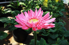 Flowers planted in a pot. Gerbera Royalty Free Stock Images