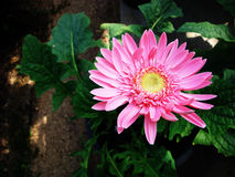 Flowers planted in a pot. Gerbera Royalty Free Stock Photos