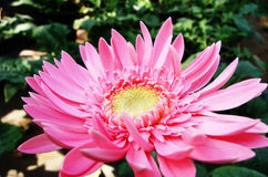 Flowers planted in a pot. Gerbera Stock Images