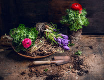 Flowers planting with soil, roots and old scoop on dark wooden Stock Photo