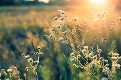 Flowers and plants on a background sunset. Flowers with cobwebs and plants on a background sunset. Shallow depth of field. Filtered in vintage style stock photo