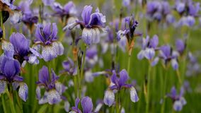 flowers plants irises purple in the field stock video footage