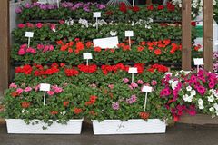 Flowers nursery Royalty Free Stock Photos