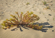 Flowers and plants on the sand of Simos beach, Elafonisos, Greec Royalty Free Stock Images