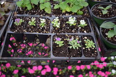 Flowers and plants in seed trays. Splash of color with flowers in seed trays and showing green leafed plants as well stock images