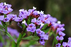 Flower at Tenerife, Canary Islands. Flowers and Plants at Tenerife, Canary Islands Flores y plantas en Tenerife, Islas Canarias stock photography