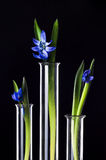 Flowers and plants in test tubes. Three flowers in a test tubes on a black background. Scientific Experiment. Blue snowdrop flowers in a glass vases. Spring Stock Images