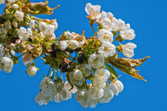 Flowers on the plum branch Royalty Free Stock Images