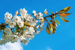 Flowers on the plum branch Stock Image