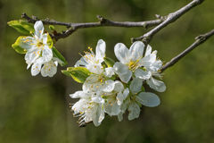 Flowers on the plum branch Royalty Free Stock Image