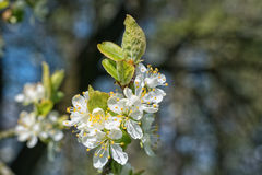 Flowers on the plum branch Stock Images