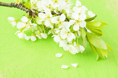 Flowers of plum Stock Photos