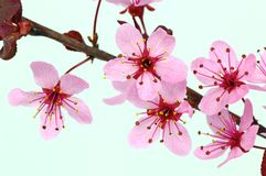 Flowers of plum Stock Image