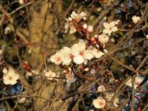 Flowers Plum - Prunus Royalty Free Stock Images
