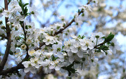 Flowers of plum. Spring garden. Branches of flowering plum Royalty Free Stock Images