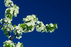 Flowers of plum tree Royalty Free Stock Image