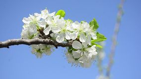 Flowers of plum tree against the blue sky, closeup stock video footage