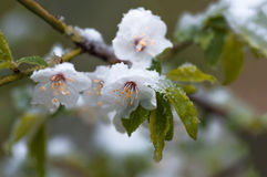 Flowers plum tree in spring covered last snow Royalty Free Stock Image