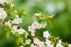 Flowers plum tree in spring covered last snow Stock Images