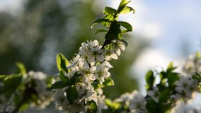Flowers on plum tree in spring On the Sunset. Large flowers on a plum tree in spring stock video