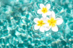 Flowers of plumeria in the turquoise water surface. Water fluctuations copy-space. Spa concept background Royalty Free Stock Photo