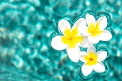 Flowers of plumeria in the turquoise water surface. Water fluctuations copy-space. Spa concept background Stock Images